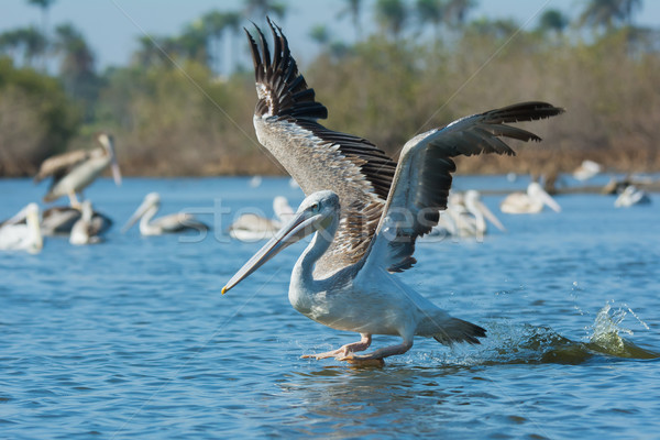 Pink-backed Pelican in flight on a lunge for fish Stock photo © davemontreuil