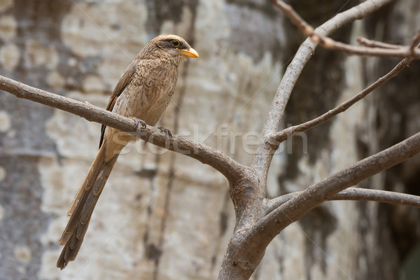 A Yellow-billed shrike (Corvinella corvina) perched in front of  Stock photo © davemontreuil