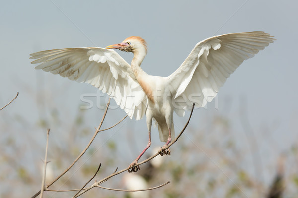 A scruffy Cattle Egret (Bubulcus ibis) perched imperiously on a  Stock photo © davemontreuil