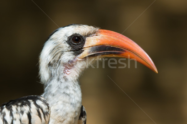 A portrait of a  Western Red-Billed Hornbill (Tockus erythrorhyn Stock photo © davemontreuil