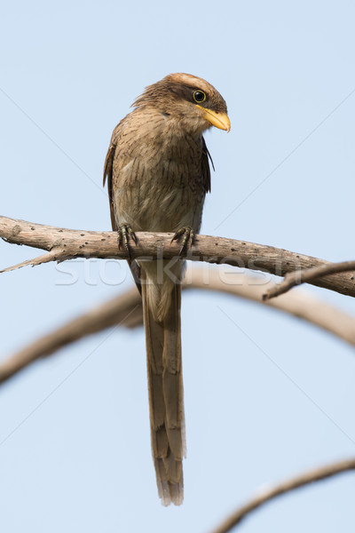 A Yellow-billed shrike (Corvinella corvina) calmly look downward Stock photo © davemontreuil