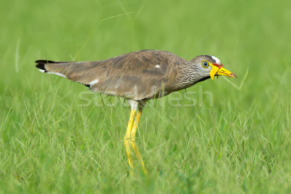 Africa Wattled Plover  Stock photo © davemontreuil