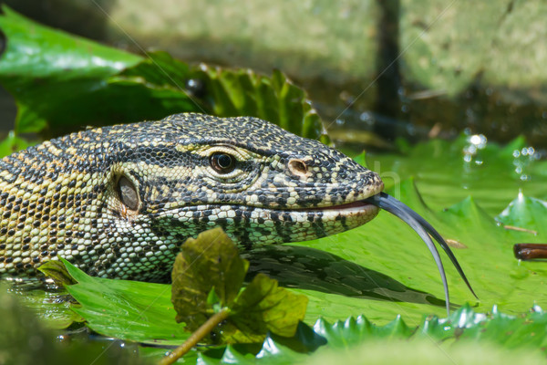 Monitor lagarto fora língua cabeça tiro Foto stock © davemontreuil
