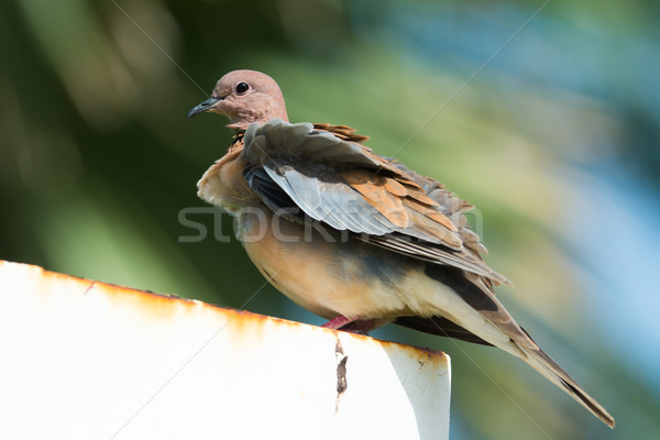 Stock photo: Stretopelia senegalensis - Laughing Dove on a breezy day