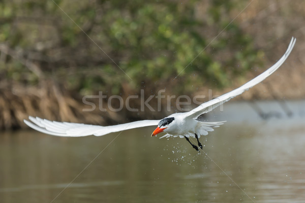 Stock photo: Caspian Tern dripping water through the mangroves