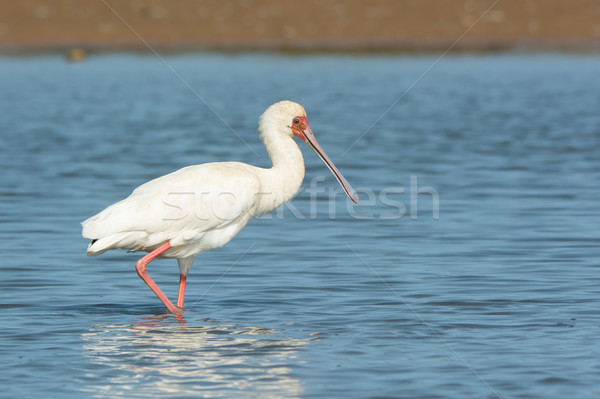 African Spoonbill wading in profile Stock photo © davemontreuil