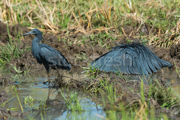 Two Black Egrets - one standing, one hunting Stock photo © davemontreuil