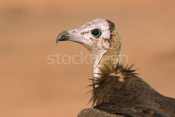 Detailed head-shot of a Hooded Vulture Stock photo © davemontreuil