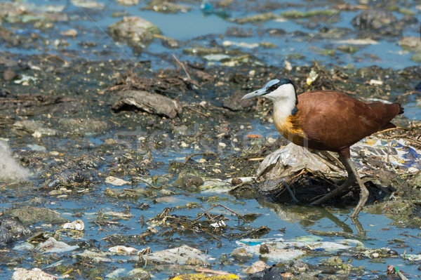 African Jacana standing on floating litter and sewage Stock photo © davemontreuil