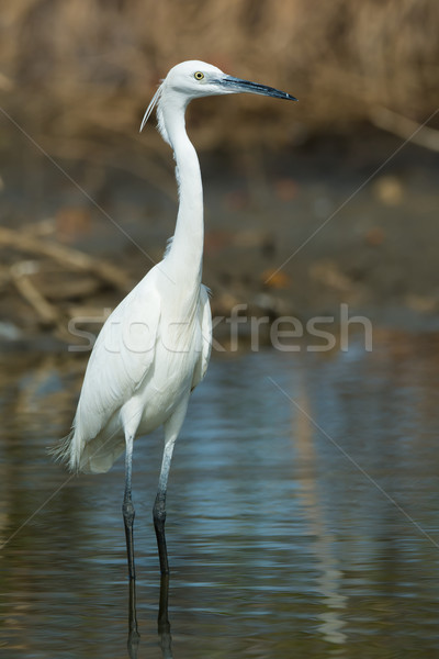 A white Western Reef Heron (Egretta gularis) standing up straigh Stock photo © davemontreuil