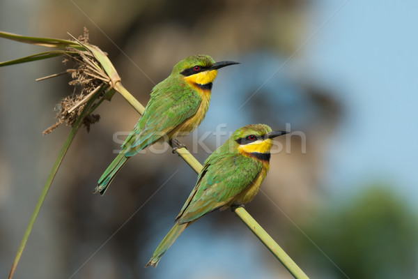 2 Little-Bee Eaters (Merops pusillus) perching on a stalk of gra Stock photo © davemontreuil