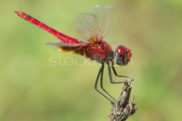 Scarlet Dragonfly (Crocothemis erythraea)   Stock photo © davemontreuil