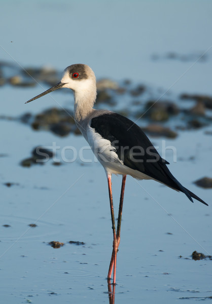 Black-winged Stilt (Himantopus himantopus) Stock photo © davemontreuil