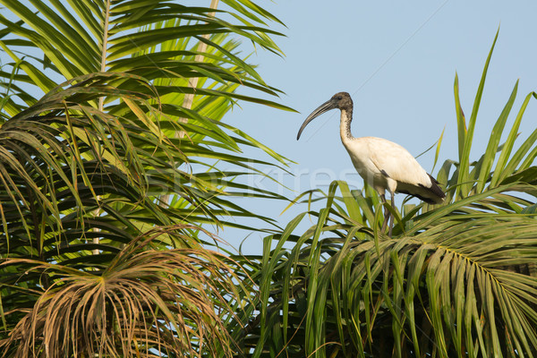 Sacred Ibis in a palm tree Stock photo © davemontreuil