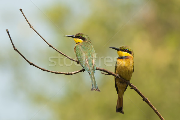 Stock photo: 2 Little-Bee Eaters (Merops pusillus) perched on a forked branch