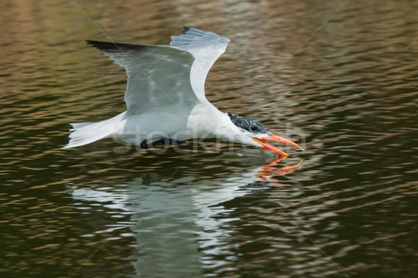Up boire eau vol nature oiseau Photo stock © davemontreuil