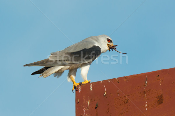 Black-Shouldered Kite eating a Gambian pouched rat. Stock photo © davemontreuil