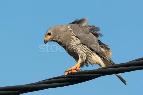 Jaszczurka myszołów drutu wietrzny dzień Zdjęcia stock © davemontreuil