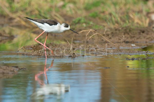 Black-winged Stilt wading on the shore Stock photo © davemontreuil