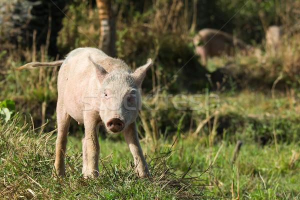 Jeunes porc colline herbe domaine Photo stock © davemontreuil