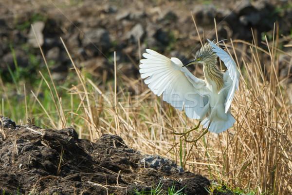 Reiger landing kuif boom afrika mooie Stockfoto © davemontreuil