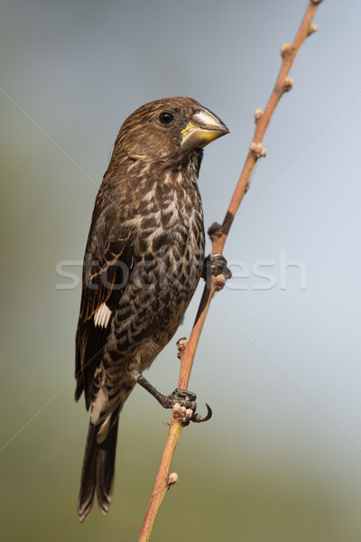 Thick-billed Weaver (Amblyospiza albifrons) female perched on a  Stock photo © davemontreuil