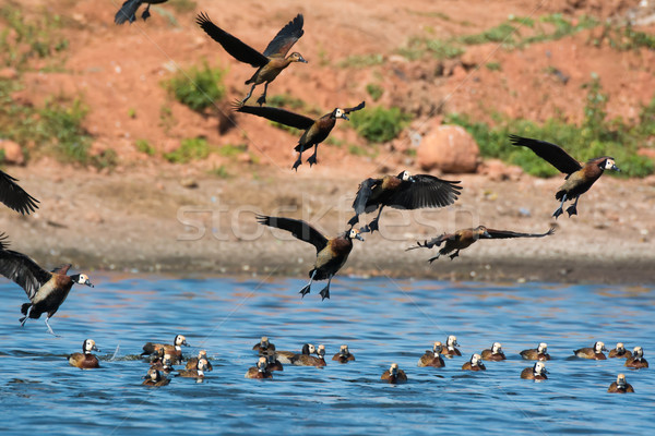 Flock of White-faced Whistling Ducks ( Dendrocygna viduata) Stock photo © davemontreuil