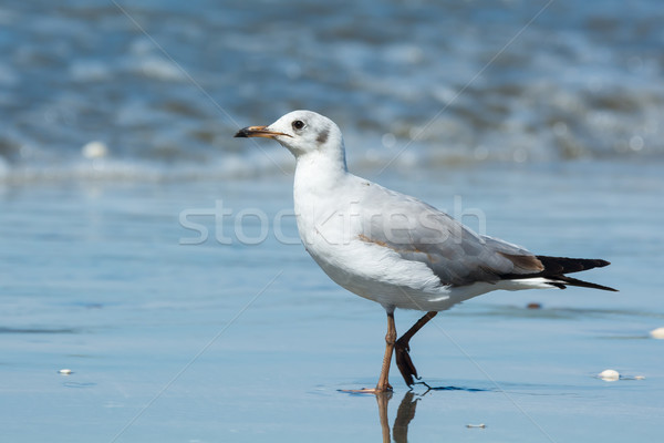 Young Grey-Headed Gull Stock photo © davemontreuil