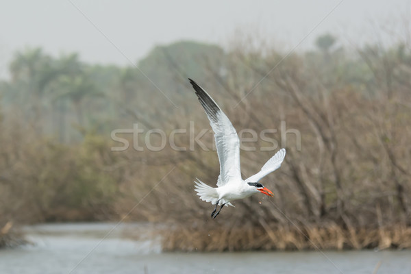 Caspian Tern flying through the mangroves with a fish Stock photo © davemontreuil
