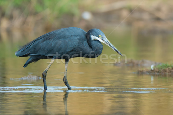 Western Reef Heron with water droplets dripping from its beak Stock photo © davemontreuil