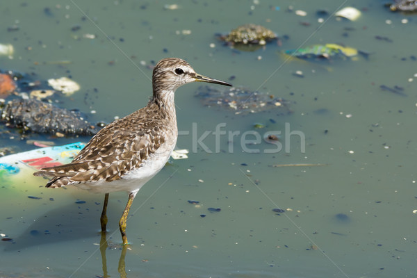 Wood Sandpiper in polluted pond Stock photo © davemontreuil