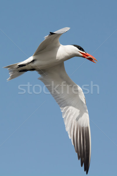 A Caspian Tern with a small fish in flight Stock photo © davemontreuil