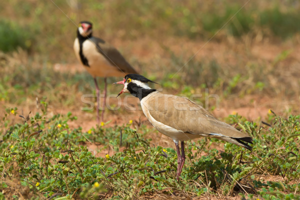 Black-headed Plover calling to its mate Stock photo © davemontreuil