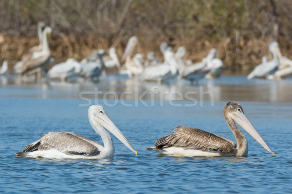 Brown juvenile and adult Pink-backed Pelicans swimming Stock photo © davemontreuil