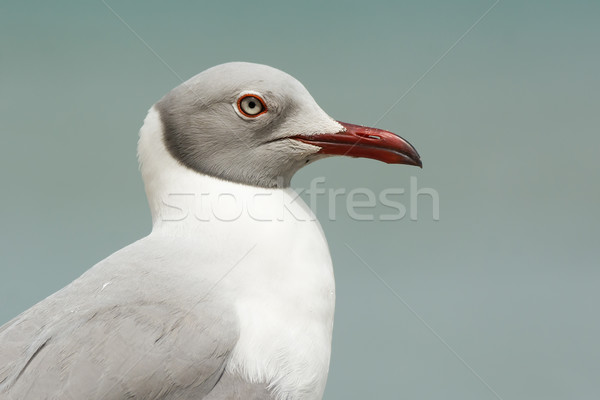 A very detailed portrait of a Grey-Headed Gull (Larus cirrocepha Stock photo © davemontreuil