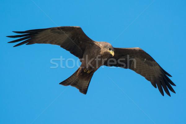 Black Kite (Milvus migrans) in flight Stock photo © davemontreuil