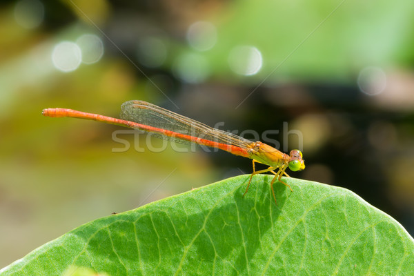 Male Common Orange Damselfly Stock photo © davemontreuil