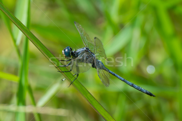 Long Skimmer Dragonfly  Stock photo © davemontreuil