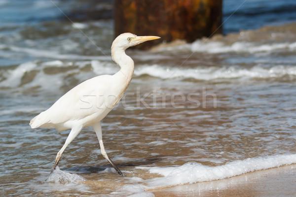 Bovins marche surf pier eau sable Photo stock © davemontreuil