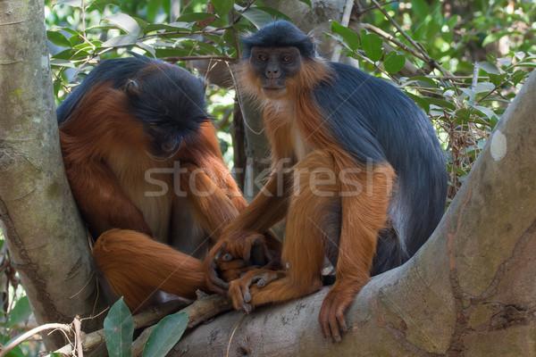 Western piros majom kéz a kézben női alszik Stock fotó © davemontreuil