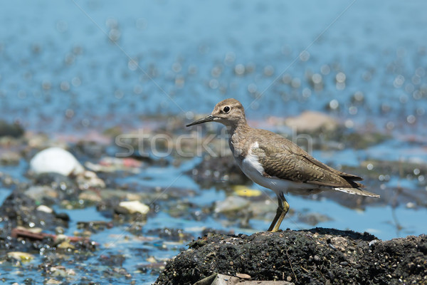 Common Sandpiper overlooking pollution and sewage Stock photo © davemontreuil