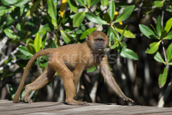 A young Western Baboon (Papio papio) on a walkway by the mangrov Stock photo © davemontreuil