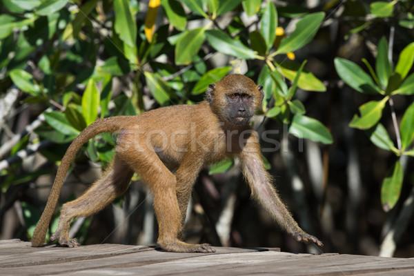 Jóvenes occidental babuino naturaleza caminando África Foto stock © davemontreuil