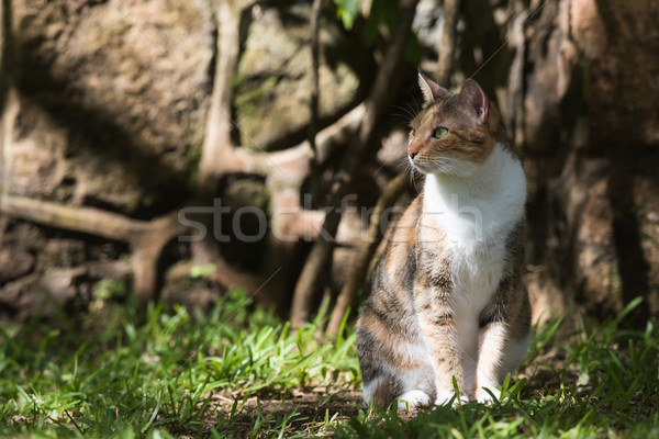Tri colored house cat sitting in dappled light Stock photo © davemontreuil