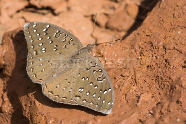 Guineafowl Butterfly on mud Stock photo © davemontreuil