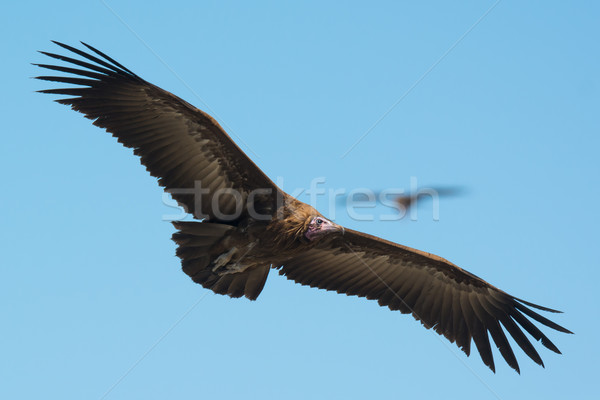 Hooded Vulture (Necrosyrtes manachus)  in flight Stock photo © davemontreuil