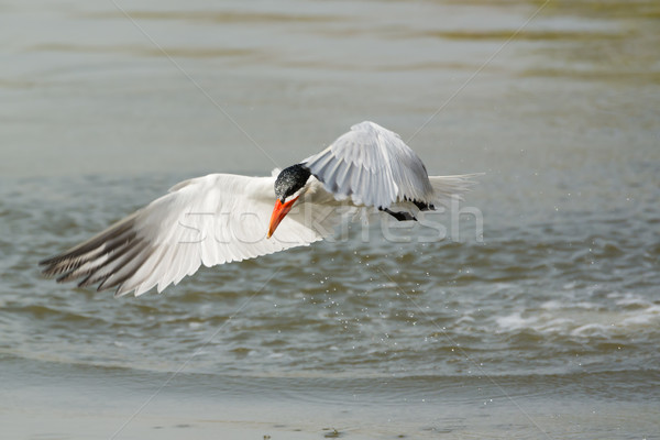 Wet Caspian Tern takes to the air after a dive Stock photo © davemontreuil