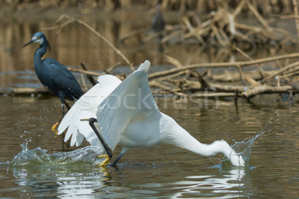 A white Western Reef Heron (Egretta gularis) plunging its head u Stock photo © davemontreuil