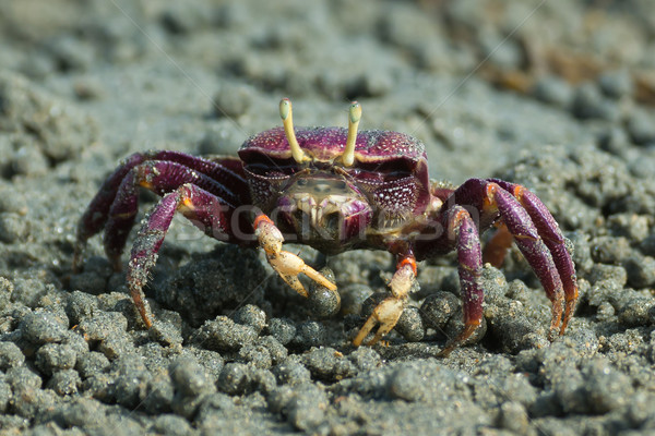 Female purple Fiddler Crab from West africa filtering sand Stock photo © davemontreuil