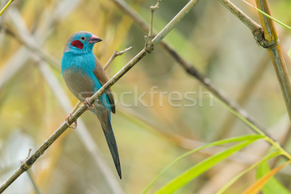 A male Red-Cheeked Cordon Bleu (Uraeginthus bengalus) perched in Stock photo © davemontreuil